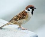 World-Sparrow-Day-20-March-House-Sparrow-Gauraiya