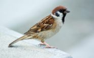World-Sparrow-Day-20-March-House-Sparrow-Gauraiya